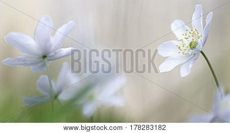 White wild flower conversation. Wildflowers, anemone nemerosa, macro with narrow DOF. Romantic spiritual and minimalism wildflower close up.