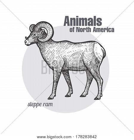 Steppe ram hand drawing. Animals of North America series. Vintage engraving style. Vector illustration art. Black and white. Object of nature naturalistic sketch.