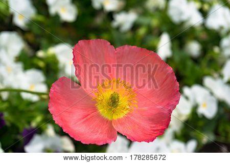 Blooming Pink Poppy Flower