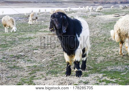Maltese goat, goat pictures, black goat pictures, hairy goat pictures, goat grasses