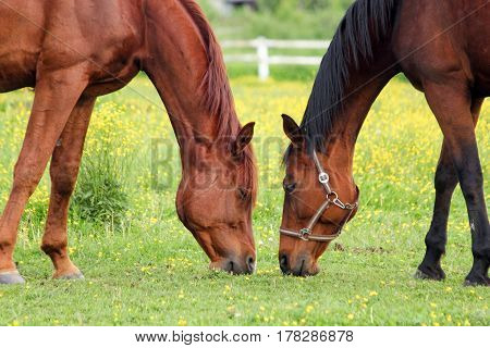 Two Horses Grazing On The Pasture