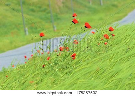 Beautiful tall poppies along the road in summer windy day