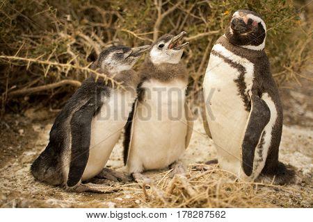 Family of magellanic penguins in