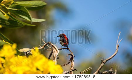 Bird (scarlet-backed Flowerpecker) On A Tree