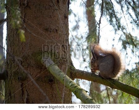 Squirrel on a fir tree. Squirrel gnaws nuts