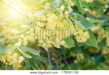 flowers blossoming tree linden wood used for the preparation of healing tea natural background spring