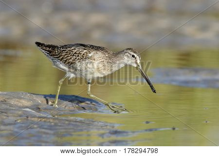 A Short-Billed Dowitcher, Limnodromus griseus in a shallow pond in Florida