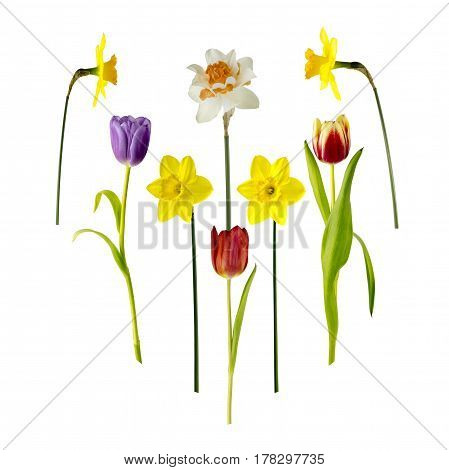 View of Daffodils and Tulips isolated on a white background