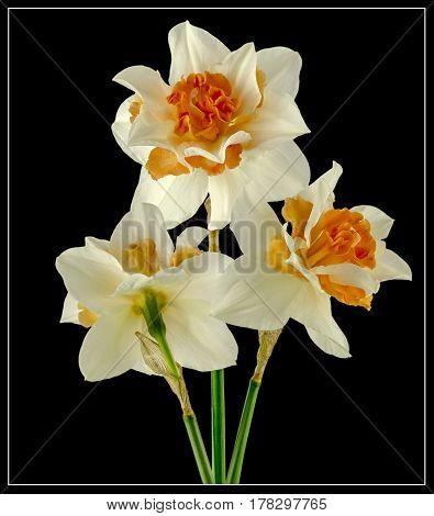 View of Daffodils on a black background