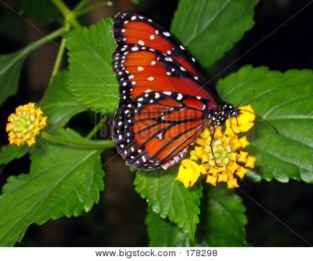Monarch Butterfly Feeds From Flower