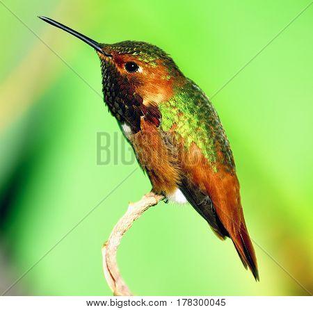 green Humming bird resting on Branch tree