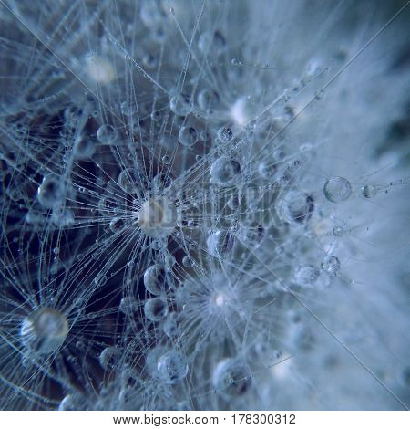 Macro photography of dandelion with water drops and blue color
