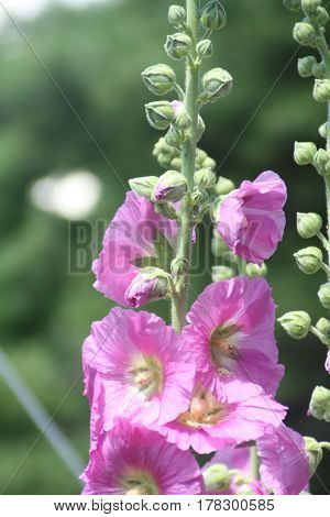 Hollyhock (Alcea ) Purple Hollyhock growing on the edge of a flower garden.