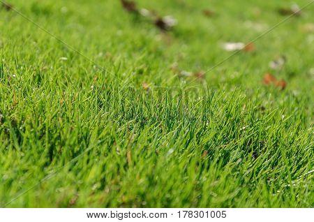 Green grass on the lawn closeup. Background texture Wallpaper.