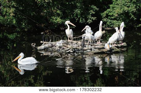 The group of pelicans sits in the middle of a pond