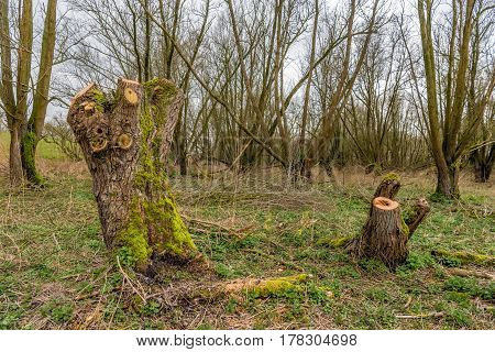 Trunks of just pruned willow trees overgrown with green moss. It is in the beginning of te spring season.