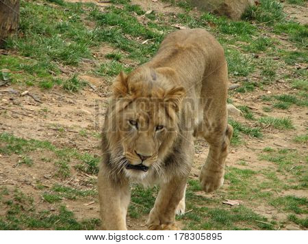 Sweet looking lion on the prowl in the search of prey.