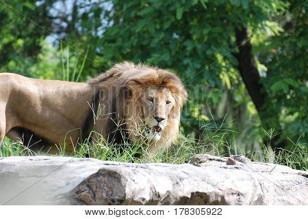 Large male lion on the prowl standing on top of a limestone rock.
