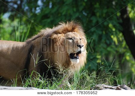 Lion with very sharp teeth on the prowl for prey.