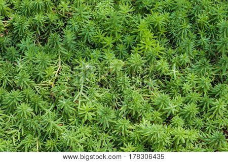 Closeup To Dudleya Pachyphytum Moran & Benedict/ Crassulaceae, Succulent And Arid Plant