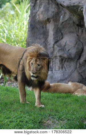 Large pacing and prowling male lion walking around.
