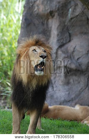 Lion showing his teeth while he growls and paces.