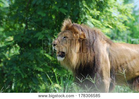 Amazing lion profile standing amongst tall grass.