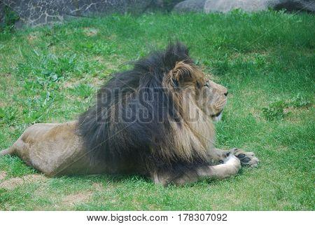 Lion resting on a matt of thick green grass.