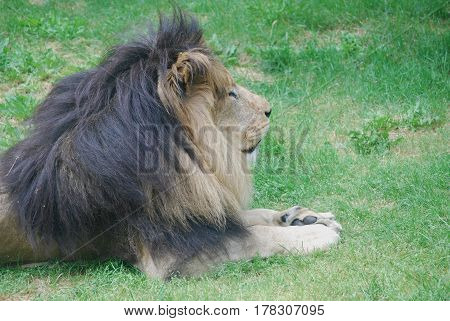 Thick black mane on a resting male lion.