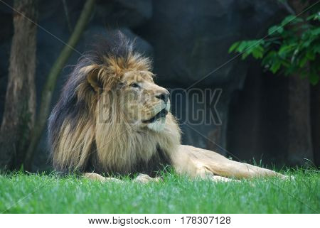 Thick black fur mane on the head of a relaxing lion.