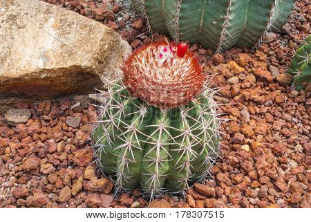 Closeup to Round Shaped of Melocactus Bahiensis Cactus/ Cactaceae Succulent and Arid Plant poster