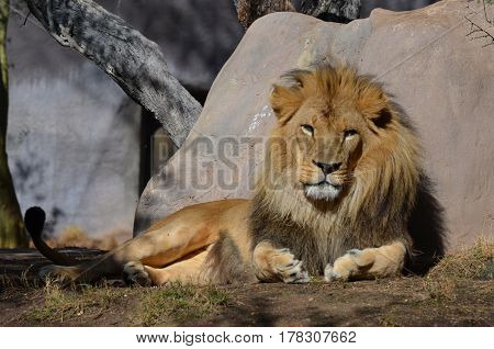 Large male lion sleeping in the warm sunshine.