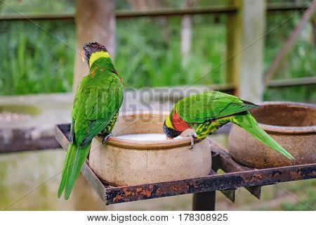 Two Rainbow Lorikeets or Trichoglossus haematodus sits on a bowl and drink milk. Young colored parrots in roost on a blurred background. Selective focus