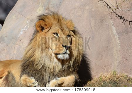 Male lion resting in the summer's sunshine.