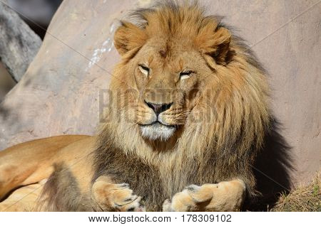 Male lion resting in the warm sunshine.