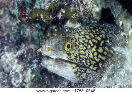 A Snowflake Moray Eel, Echidna nebulosa looks out from a small hole in the reef at the Kwajalein Atoll in the Pacific
