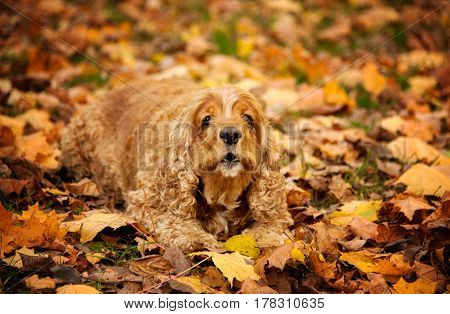 Cocker Spaniel American lies in the fallen leaves in autumn color mimicry