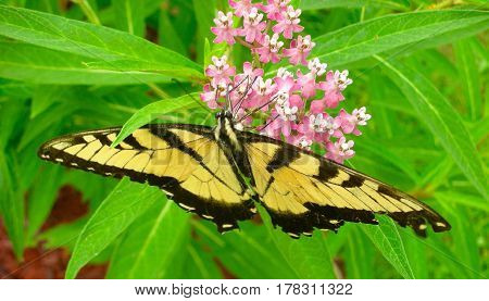 Eastern Tiger Swallowtail Butterfly feasting on nectar from milkweed in my backyard.