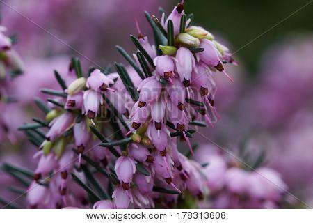 Ling, Calluna vulgaris, flowers of the gardens