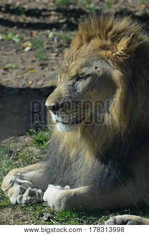 Resting lion with his paws curled underneath him.