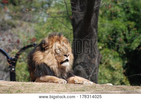 Large male lion resting under a tree in a zoo.