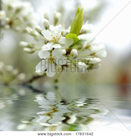 Spring Cherry Blossom (flowers) In Water.