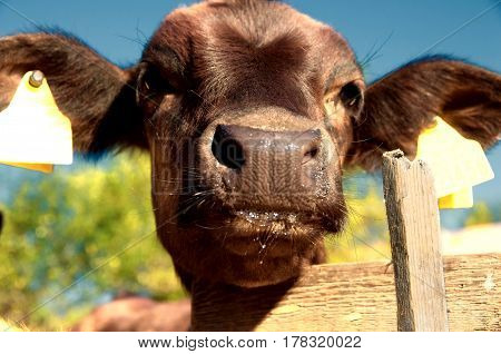Livestock farming. Young cow in a cowshed. Calf in a barn.