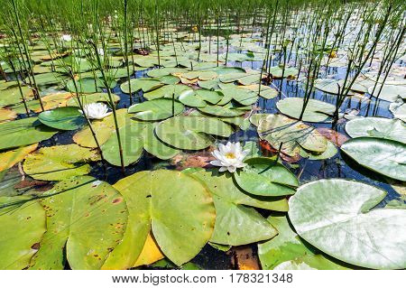 White water lily flowers with big green leaves in sunny day