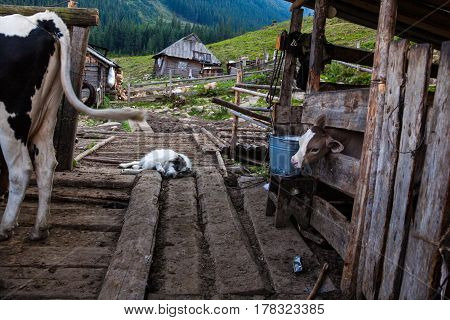 The farm in the Ukrainian Carpathians. Cows in a pen and a sleeping sheepdog.