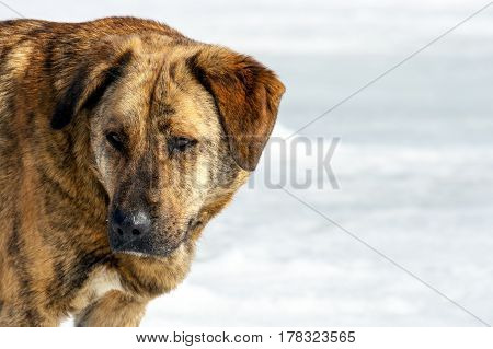 Muzzle of the wild dog brown color on a light background