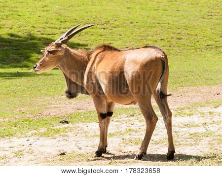 Taurotragus oryx - Second larges antelope in the world