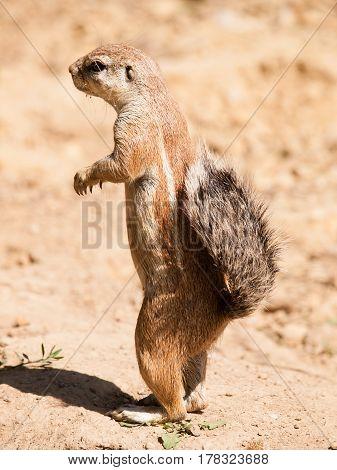 South African ground squirrel - Xerus inauris - watch neighbourhood closely