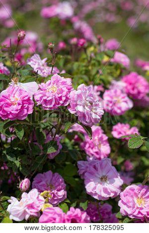 Beautiful Bush Of Pink Roses In A Spring Garden. Flower Field. Field Of Tea Rose. Rose Garden.