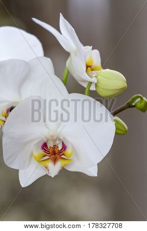 Indoor decorative plants. Flowering branch of Orchid phalaenopsis on dark background
